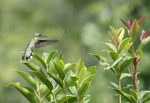 Hummingbird spies Praying Mantis by aimeesblog