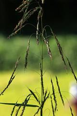 新治市民の森のイネ科の植物(Niiharu Community Woods)