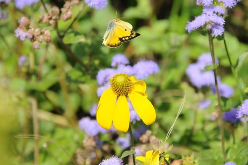 Alfalfa Butterfly female by barnmom42