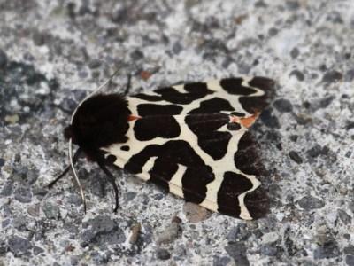 Garden Tiger Moth (Arctia caja) 01 by Mike at Sea