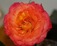 'Sunset' Garden Rose