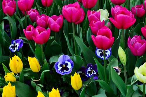Tulipanes y pensamientos