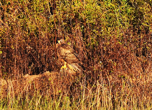 Negri-Nepote: Harrier at Hannah Pond