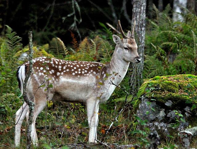 dovvilt, fallow deer, dama dama