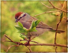 Bird  - Chipping Sparrow