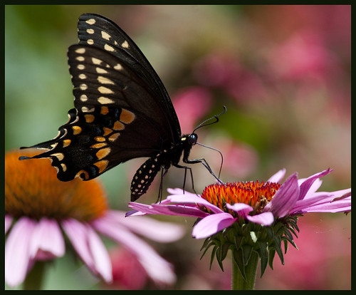 Black swallowtail on cone flower 4