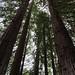 Redwood Grove at Tilden Regional Botanic Garden