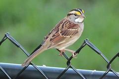 Zonotrichia albicollis (White-throated Sparrow)