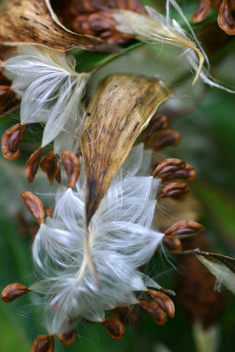 Swamp Milkweed Seeds by sslyb