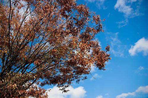 Orange leaves & blue sky