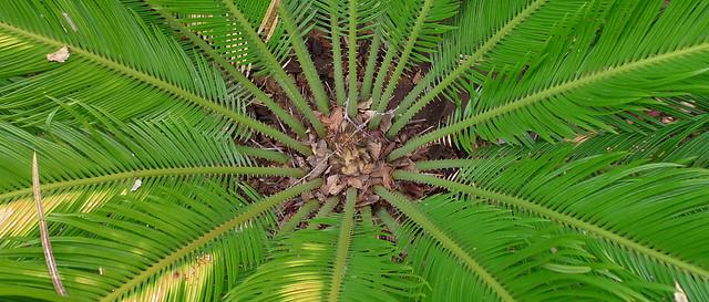 Shining Palm
