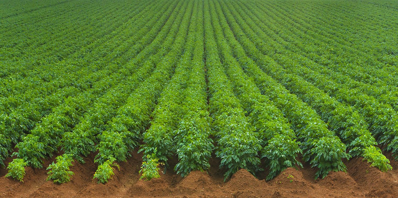 Image result for potato field