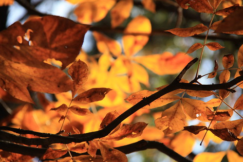 golden leaves by aimeesblog