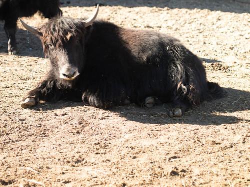 yaks!!!! -5.jpg