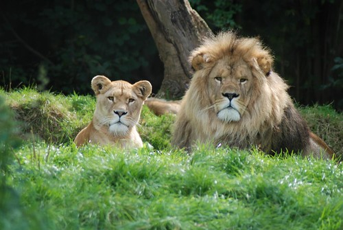 Löwen im Tierpark CERZA bei Lisieux in der Normandie
