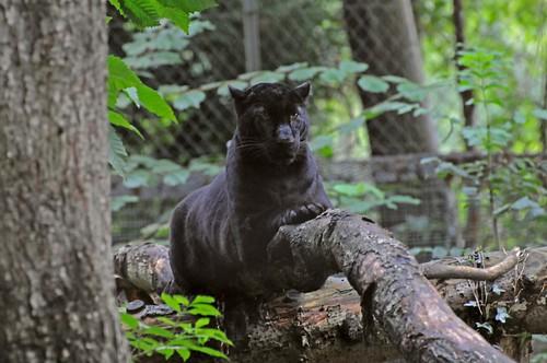 Schwarzer Leopard  im Tierpark CERZA in der Normandie
