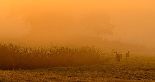 fallow deer in fog