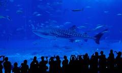 Whale shark@Okinawa Churaumi Aquarium(Explored)