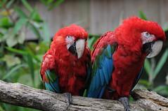 Grünflügelara im Parc zoologique de Champrepus