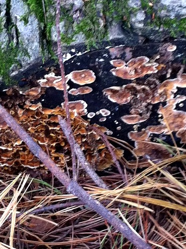 Paeonian Springs, VA Turkey Tail fungus