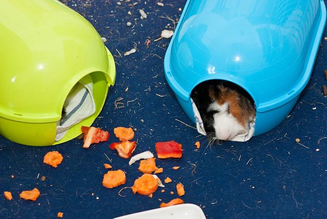 cobaya durmiendo en su casita de plástico