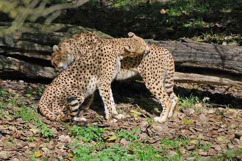 Geparden  im Tierpark CERZA bei Lisieux in der Normandie