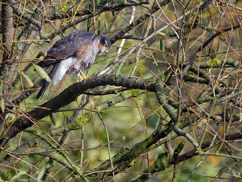 Sparrowhawk-watching