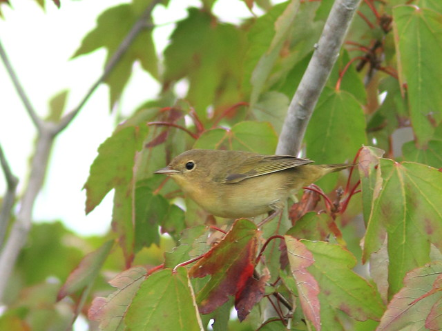 Common Yellowthroat in Red Maple 2-20111005
