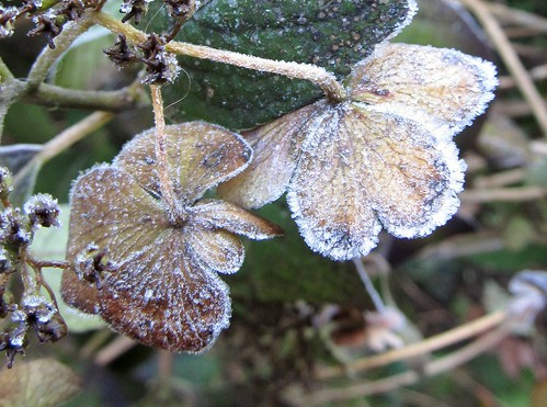 Frosted hydrangea blossoms