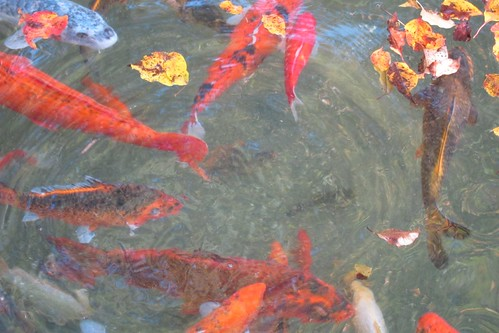 Koi fish and autumn leaves