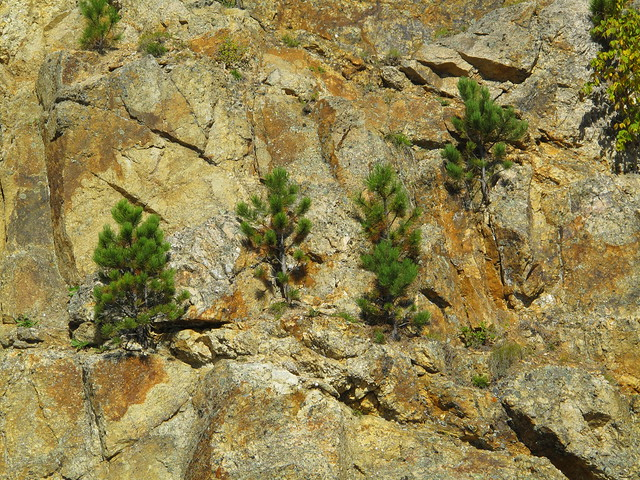 pines in rock