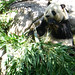 panda bear!