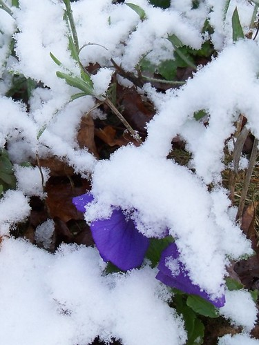 snowy pansy