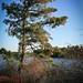 Pine tree off a harvested bog