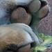 Bengal Tiger Paws