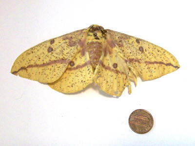 20110719_imperial_moth_photo