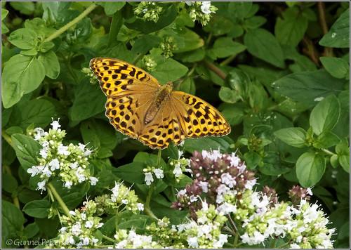 110723 butterfly Pärlemorfjäril