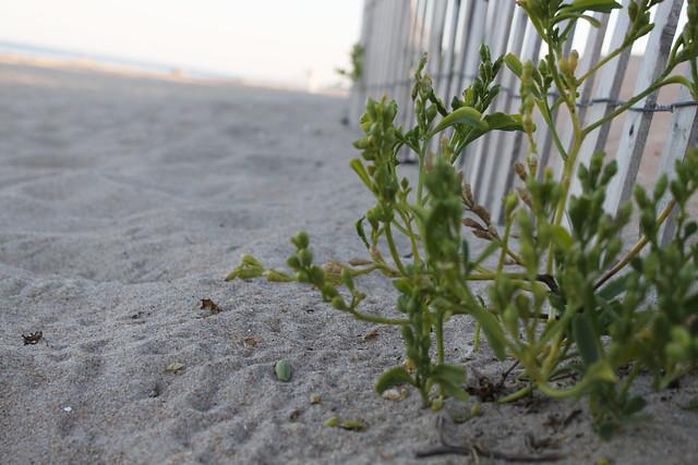 beach plant