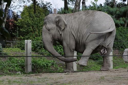 Asiatischer Elefant Jana im Zoo d'Amiens