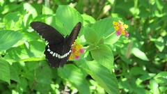 Peng Chau Butterfly