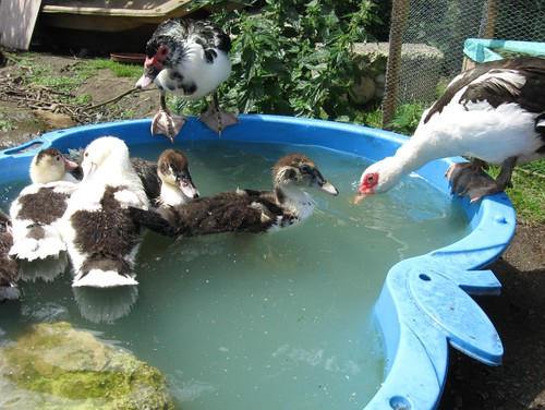 supervising the ducklings
