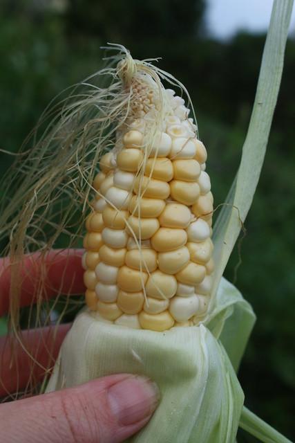 Peewee corn