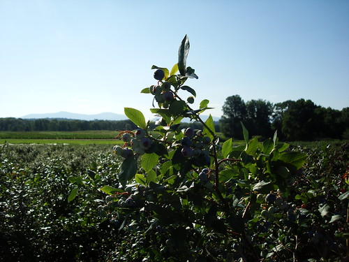 blueberries in the Hudson Valley