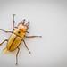 juvenile beetle