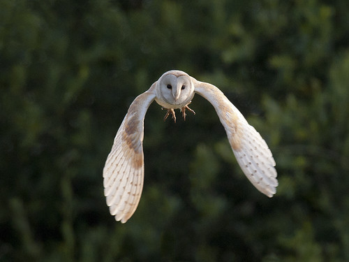 Barn Owl flying towards me