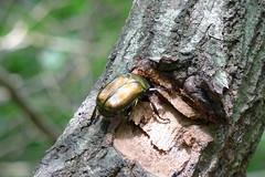 金沢自然公園のカナブン(Beetle, Kanazawa Nature Park)