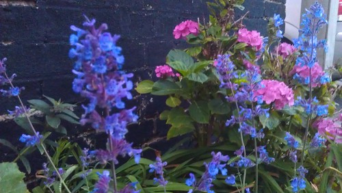 Nepeta 'Six Hills Giant' alongside the Hydrangea