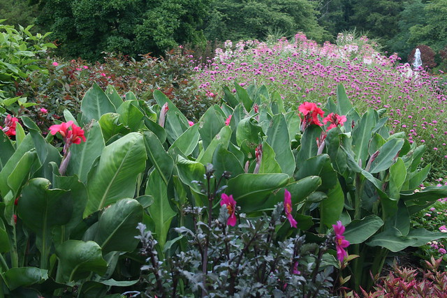 Canna Lilies in Pink