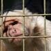 White Capuchin
