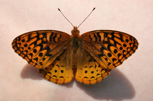 Great Spanged Fritillary, Speyeria cybele